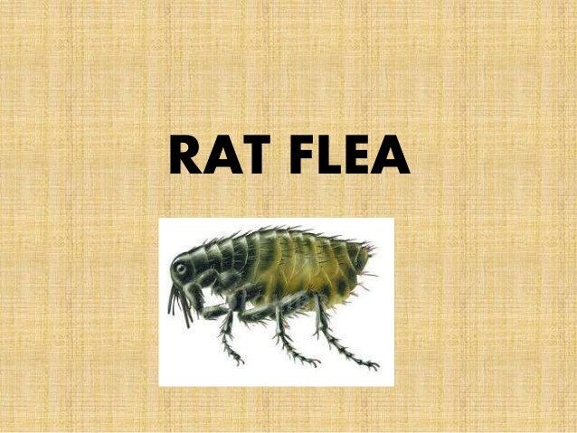 Xenopsylla Cheopis Life Cycle ENTOMOLOGY-Sand fly