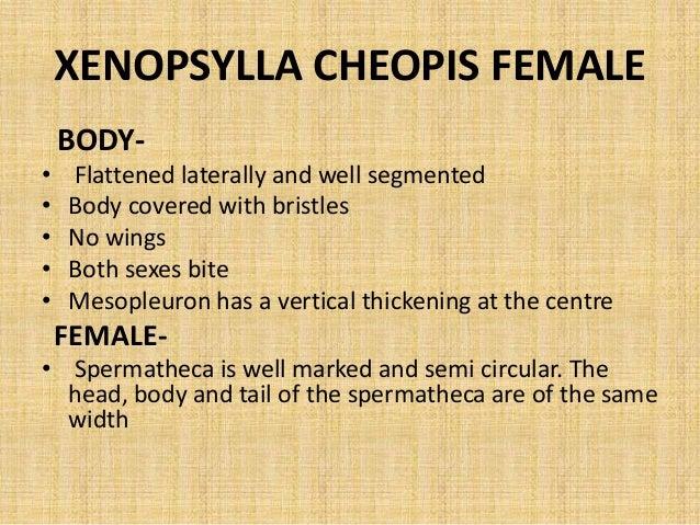 Xenopsylla Cheopis Life Cycle ENTOMOLOGY-Sand...