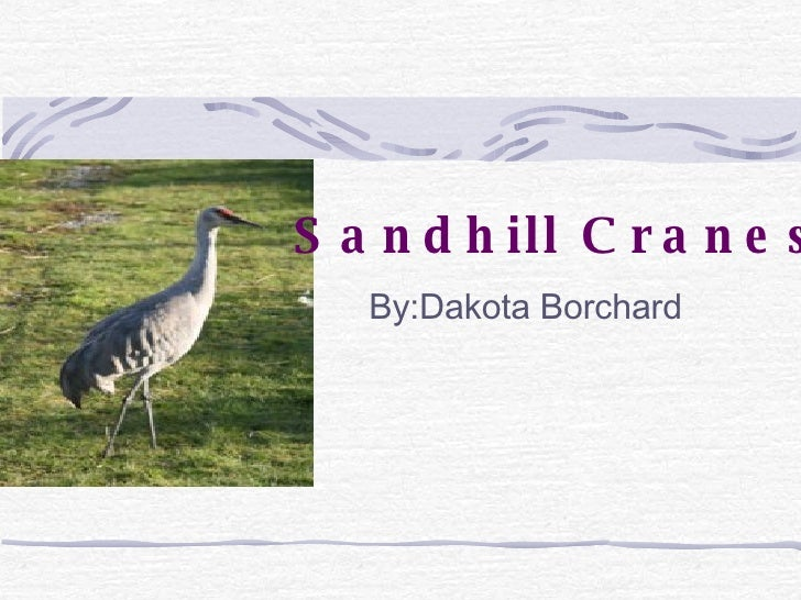 By:Dakota Borchard Sandhill Cranes