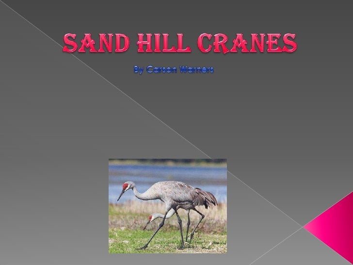 Sand hill Cranes<br />By Carson Warners<br />