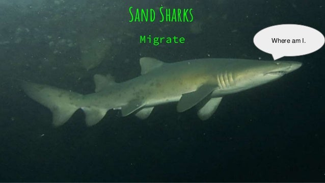 Sand shark 27 what is another name for sand shark publicscrutiny Image collections