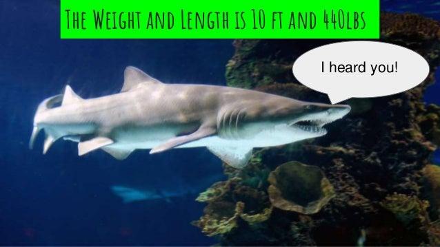 Sand shark the sand shark babies are born as eggs publicscrutiny Image collections