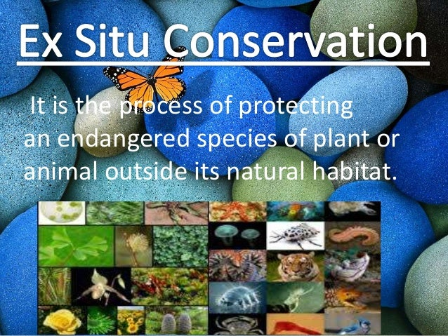 exsitu and insitu conservation of medicinal Life expectancy of caged ex-situ animal is less compared to its in-situ cousin offsprings born in captivity, have problems in adjusting and surviving in jungles tiger cub born in zoo, feeding on readymade meat, living in a small area, cannot easily survive in a jungle.