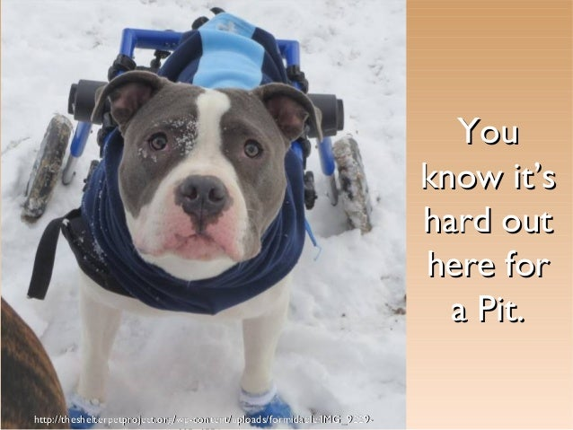 You know it's hard out here for a Pit. http://theshelterpetproject.org/wp-content/uploads/formidable/IMG_9229-