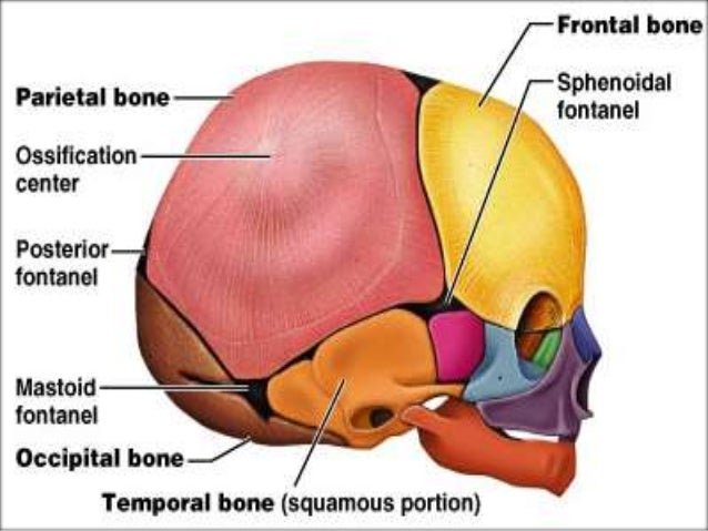 Osteology Of Facial Bones
