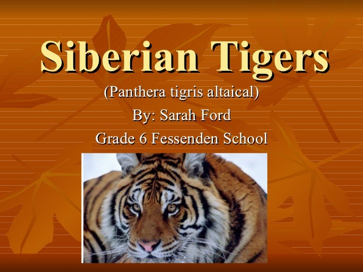 Siberian Tigers (Panthera tigris altaical) By: Sarah Ford Grade 6 Fessenden School