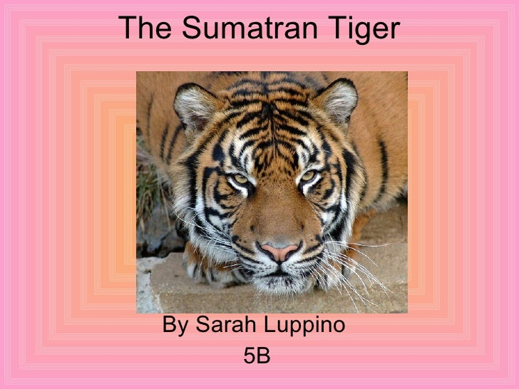 The Sumatran Tiger  By Sarah Luppino  5B