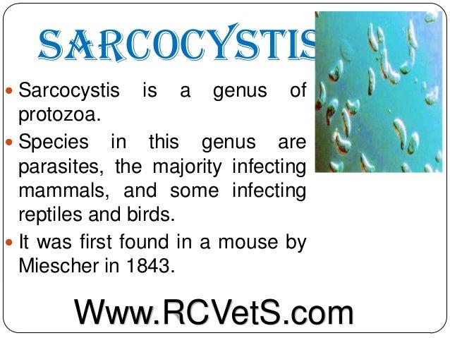Sarcocystis  Sarcocystis  is  a  genus  of  protozoa.  Species in this genus are parasites, the majority infecting mamma...
