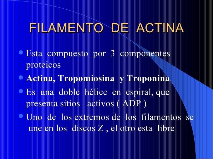 FILAMENTO  DE  ACTINA <ul><li>Esta  compuesto  por  3  componentes proteicos </li></ul><ul><li>Actina, Tropomiosina  y Tro...