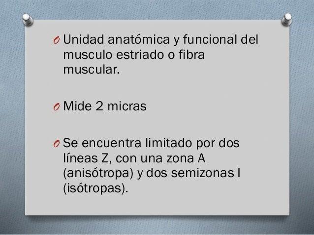 O Unidad anatómica y funcional del  musculo estriado o fibra muscular.  O Mide 2 micras  O Se encuentra limitado por dos  ...