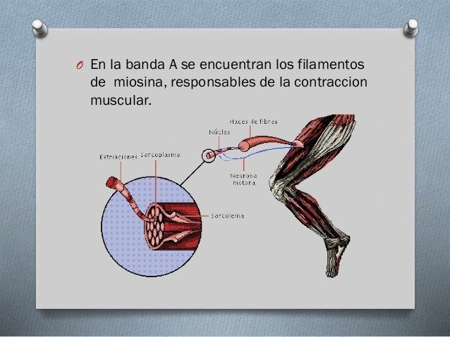 Contracción Muscular O Se libera acetilcolina al espacio  sináptico, se une a los receptores de la placa motora, esta unió...