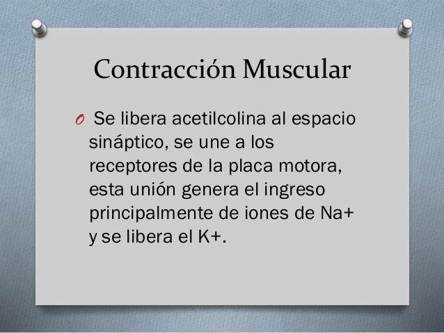 O Se desencadena un potencial de  acción muscular que se conduce a lo largo del sarcolema y determina la liberación del ca...