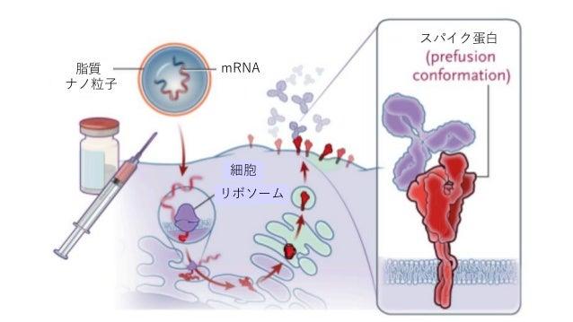 脂質 ナノ粒子 細胞 リボソーム スパイク蛋白 mRNA