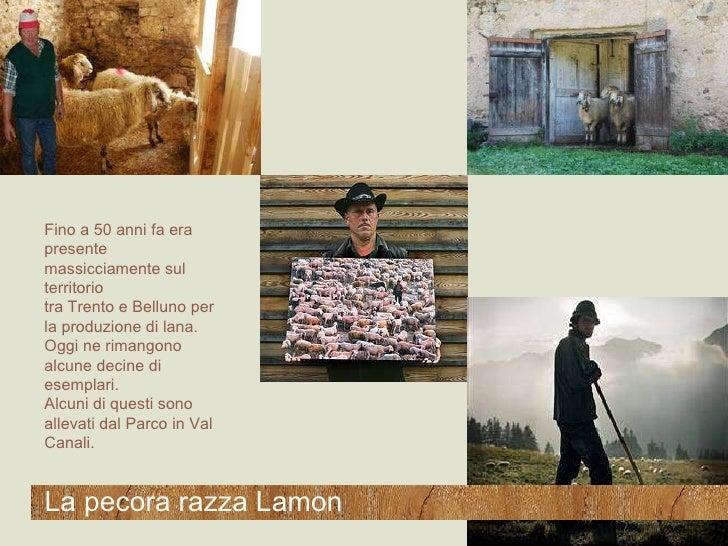 Fino a 50 anni fa era presente massicciamente sul territorio  tra Trento e Belluno per la produzione di lana. Oggi ne rima...