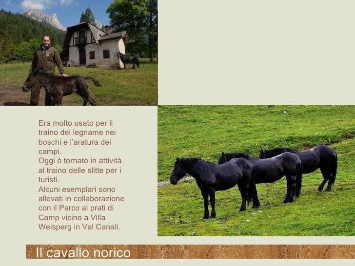 Il cavallo norico Era molto usato per il traino del legname nei boschi e l'aratura dei campi. Oggi è tornato in attività a...