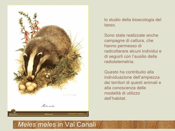 Meles meles  in Val Canali lo studio della bioecologia del tasso.  Sono state realizzate anche campagne di cattura, che ha...