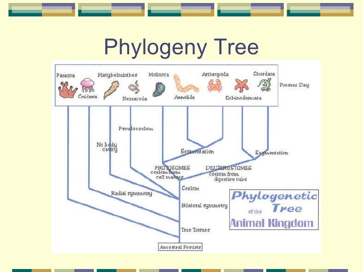biology 1309 review kingdom animalia protostomes Hemerythrin (also spelled  the kingdom animalia contains approximately 35 phyla,  a super-phylum of protostomes that also includes molluscs,.