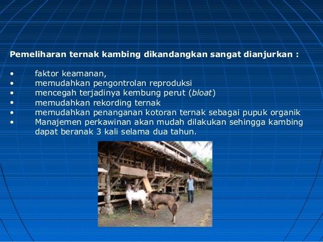 Manajemen Usaha Ternak Kambing dan Domba