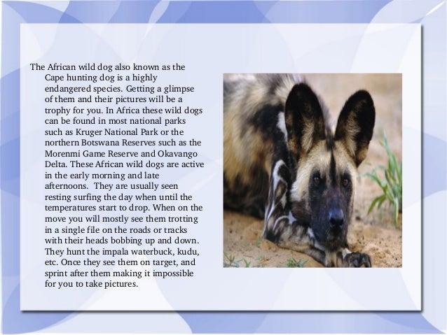 TheAfricanwilddogalsoknownasthe Capehuntingdogisahighly endangeredspecies.Gettingaglimpse ofthemandt...