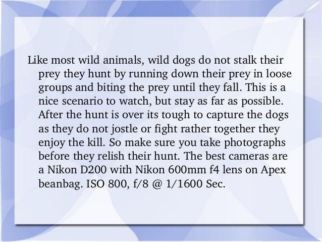 Likemostwildanimals,wilddogsdonotstalktheir preytheyhuntbyrunningdowntheirpreyinloose groupsandbitin...