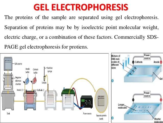 immunoblotting techniques