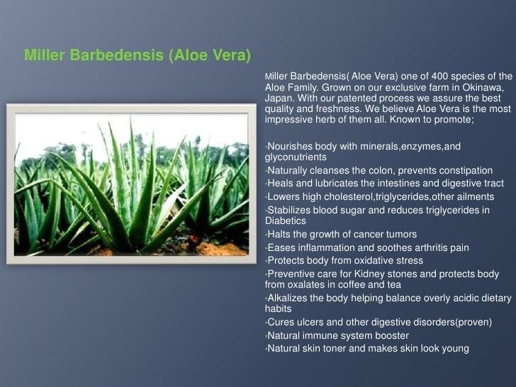 Miller Barbedensis (Aloe Vera)<br />Miller Barbedensis( Aloe Vera) one of 400 species of the Aloe Family. Grown on our exc...