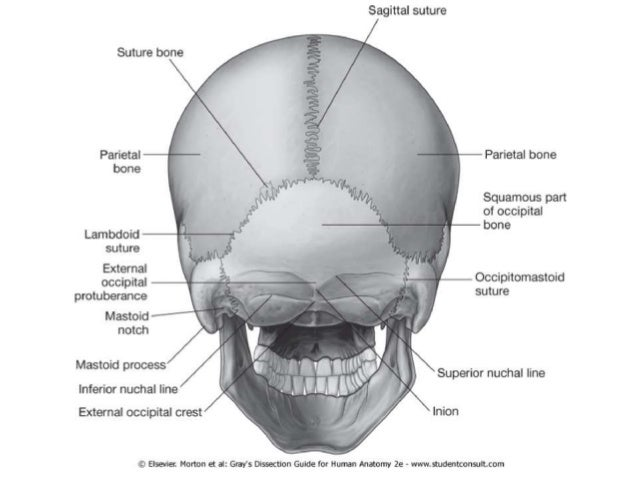Scalp anatomy