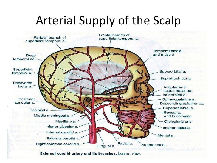 Diagram Of Nerves In The Scalp Wiring Diagram For Light Switch