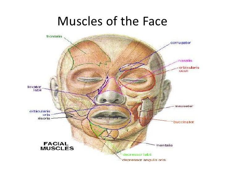 face anatomy - Ukran.soochi.co