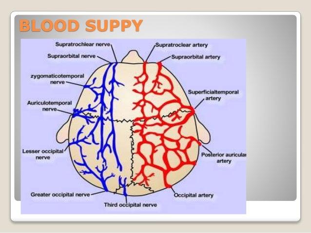 Anatomy of scalp