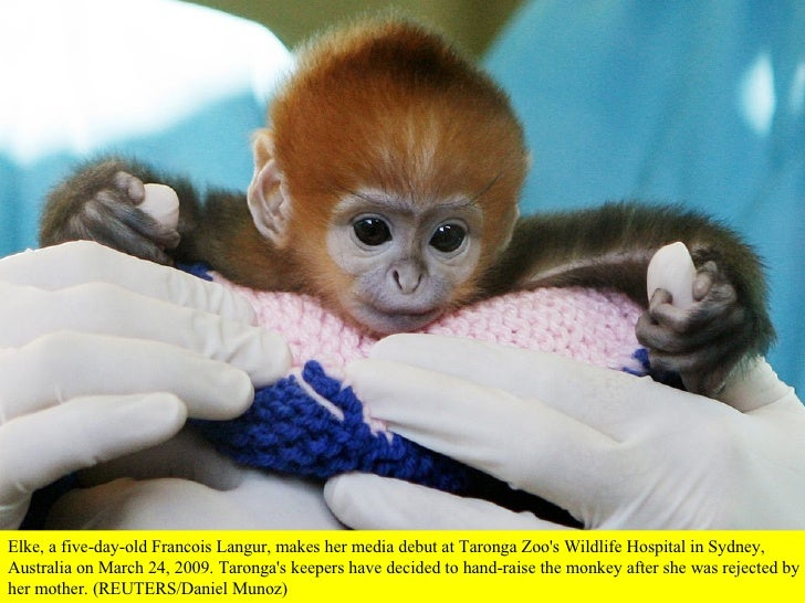 Elke, a five-day-old Francois Langur, makes her media debut at Taronga Zoo's Wildlife Hospital in Sydney, Australia on Mar...