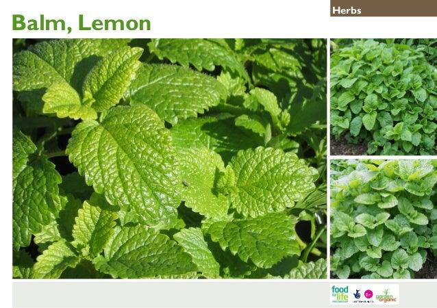 Balm, Lemon  Herbs
