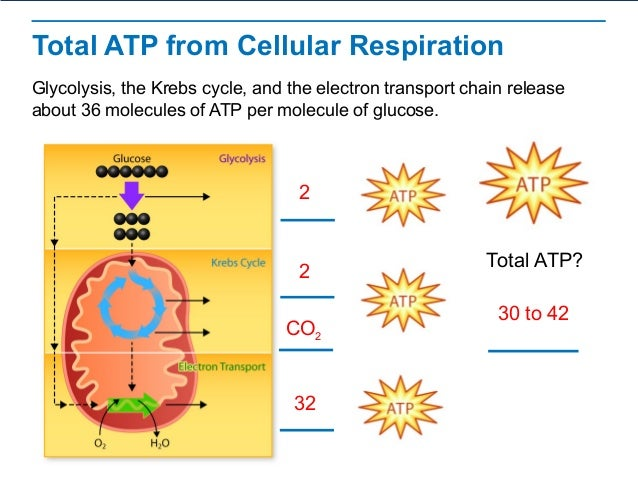 Cellular Respiration – Cellular Respiration Diagram Worksheet