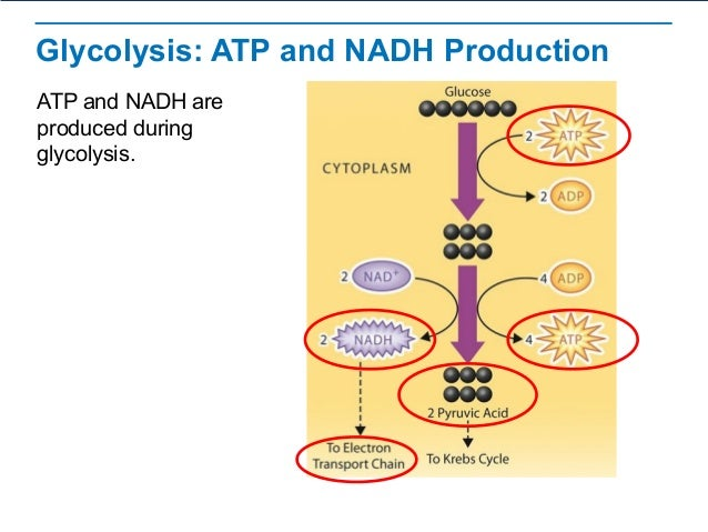 Cellular respiration glycolysis ccuart Gallery