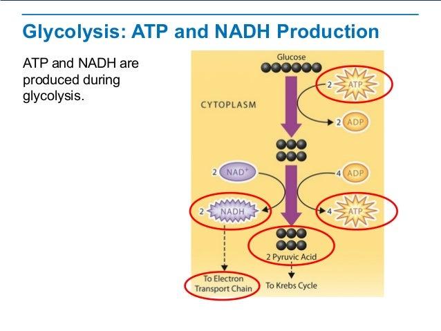 Cellular Respiration – Glycolysis Worksheet