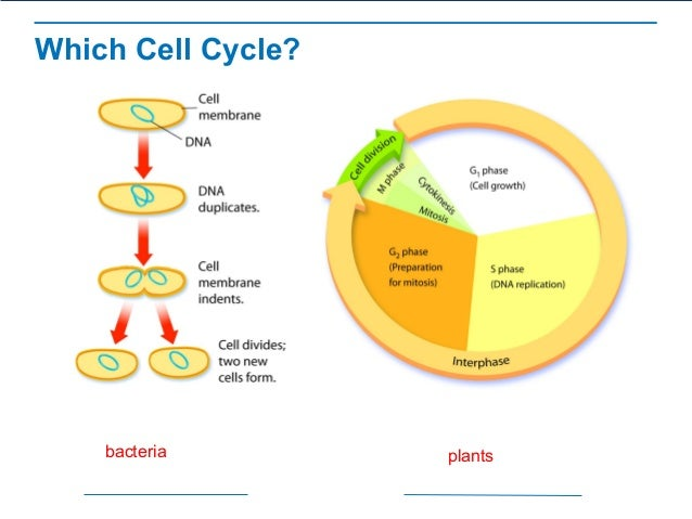 The process of cell division which cell cycle bacteria plants ccuart Image collections