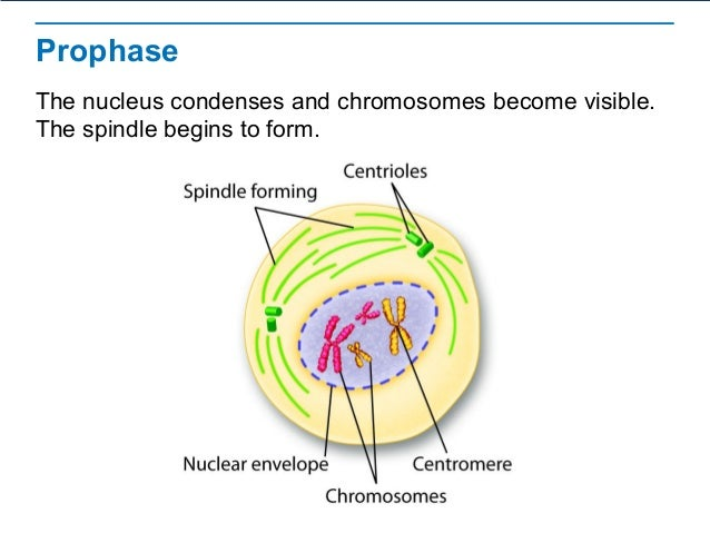 Diagram and label a chromosome in prophase complete wiring diagrams the process of cell division rh slideshare net metaphase diagram cell division prophase ccuart Image collections