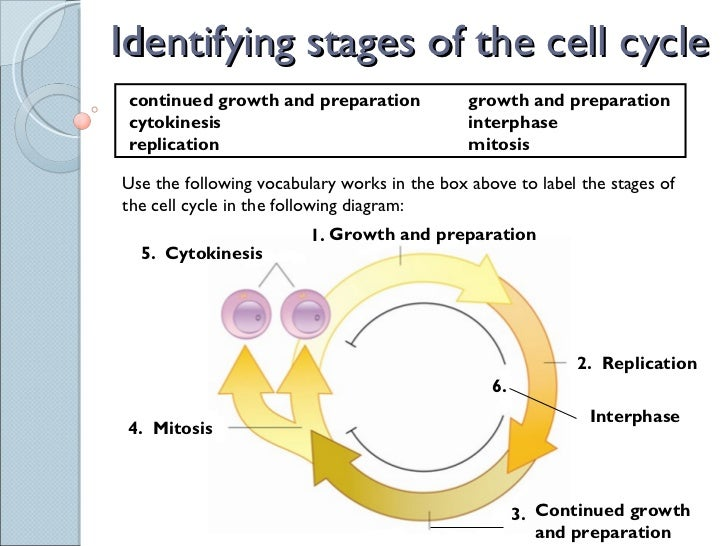 ... 2. Identifying stages of the cell cycle ...