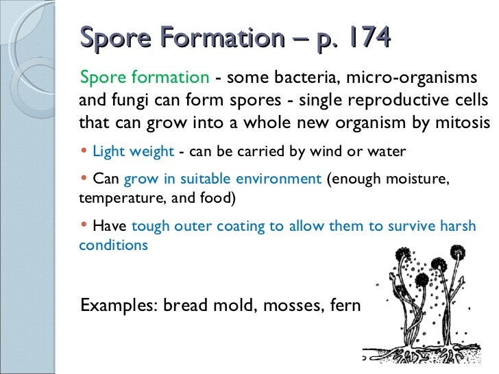 Mold spores asexual reproduction in bacteria