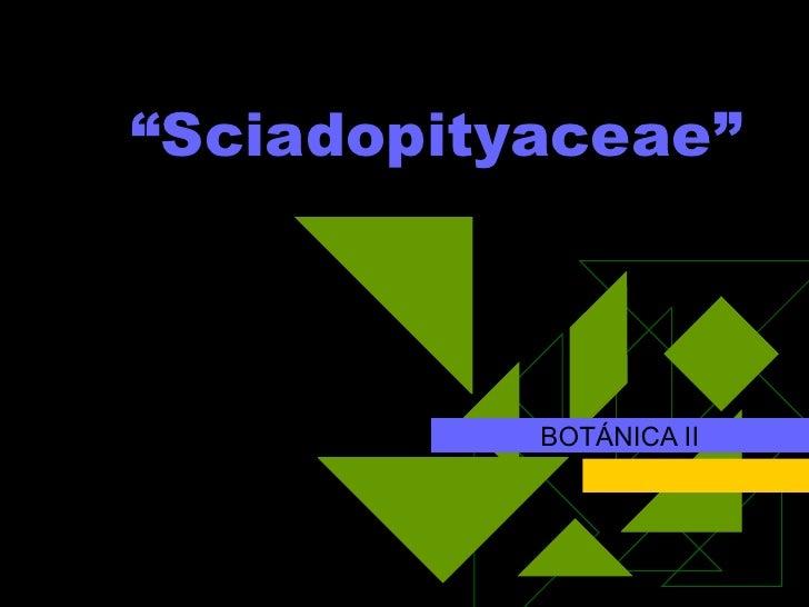 """BOTÁNICA II """" Sciadopityaceae"""""""