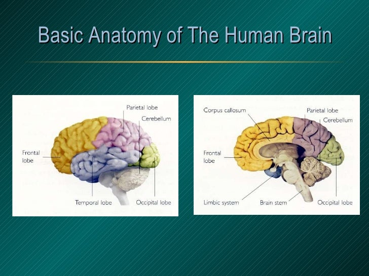 Basic Anatomy of The Human Brain
