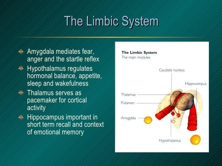 The Limbic System <ul><li>Amygdala mediates fear, anger and the startle reflex </li></ul><ul><li>Hypothalamus regulates ho...