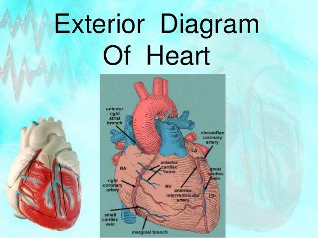 12. Exterior Diagram Of Heart ...