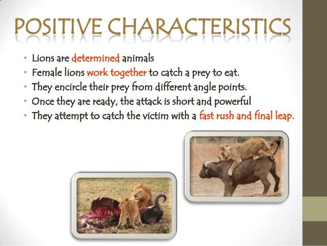 Lions - Physical Characteristics