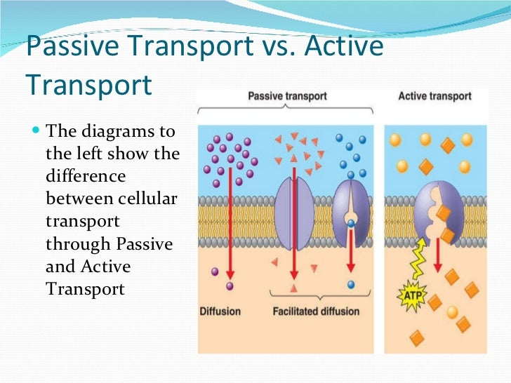 Easy active transport diagram product wiring diagrams science review rh slideshare net cell membrane active transport active and passive transport diagram ccuart Image collections