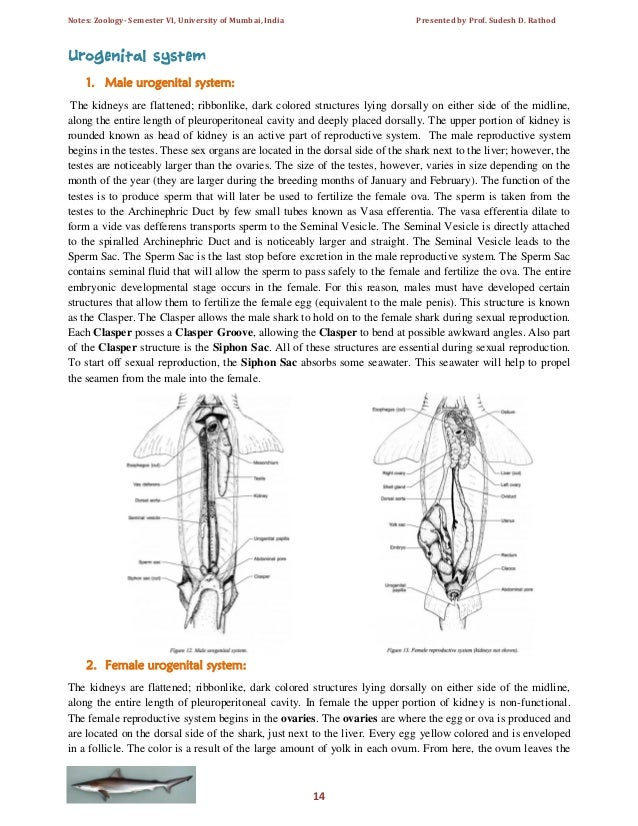 Dogfish shark male reproductive system diagram electrical drawing scoliodon laticaudus spadenose shark notes for t y b sc sem vi rh slideshare net dogfish shark digestive ccuart Images