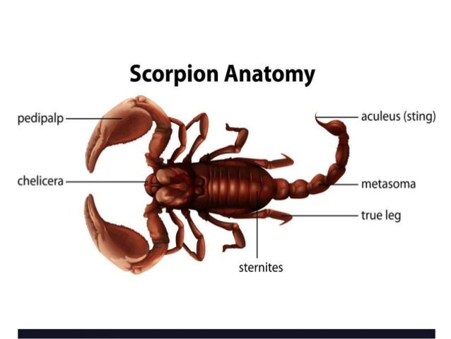 SCORPION • Segmented tail curves upward dorsally ending in a terminal bulbous segment called telson (venom glands and stin...