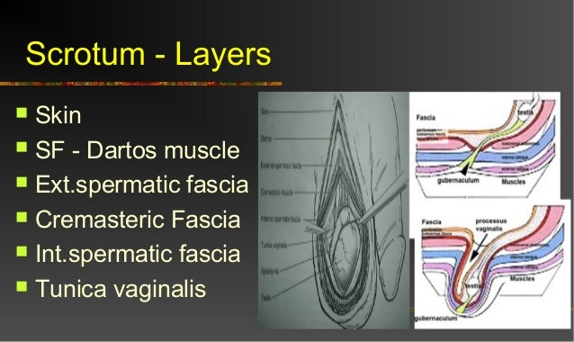 Scrotum Anatomy Layers