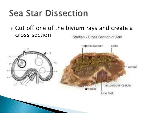  Cut off one of the bivium rays and create a cross section
