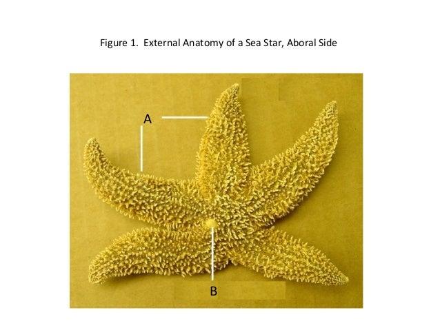 Figure 1. External Anatomy of a Sea Star, Aboral SideAB